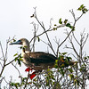 Galapagos Islands, Red-Footed Booby in Tree, San Cristobal