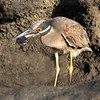 Galapagos Islands, Yellow Crowned Night Heron, Floreana