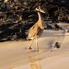 Galapagos Islands, Yellow Crowned Night Heron, Floreana