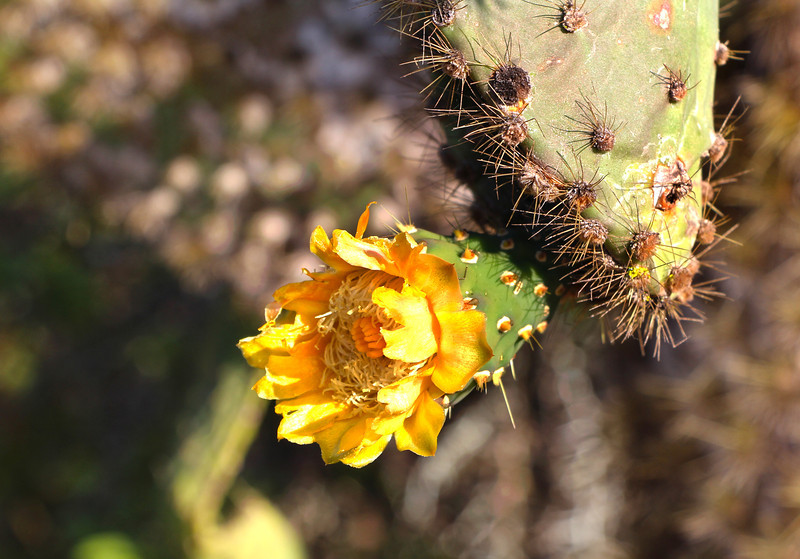 Galapagos Islands, Cactus Flower, Santa Cruz