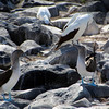 Galapagos Islands, Blue-Footed Booby Mating Dance, Espanola