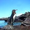 Galapagos Islands, Galapagos Penguin, Bartolome