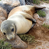 Galapagos Islands, Sea Lion Pup, North Seymour
