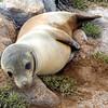 Galapagos Islands, Sea Lion Pup, North Seymour