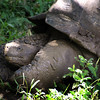 Galapagos Islands, Giant Tortoise after Mud Bath, Santa Cruz