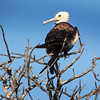 Galapagos Islands, Young Frigate Bird, North Seymour Island