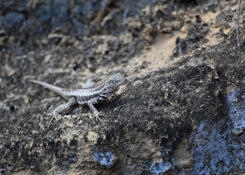 Galapagos Islands, Lava Lizard, Punta Pitt
