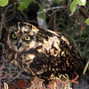 Galapagos Islands, Short Eared Owl, North Seymour Island
