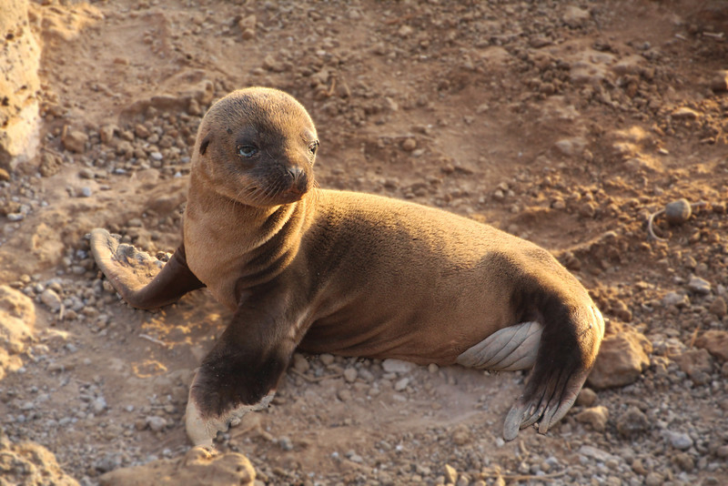 Galapagos Islands, Sea Lion Pup, North Seymour Island