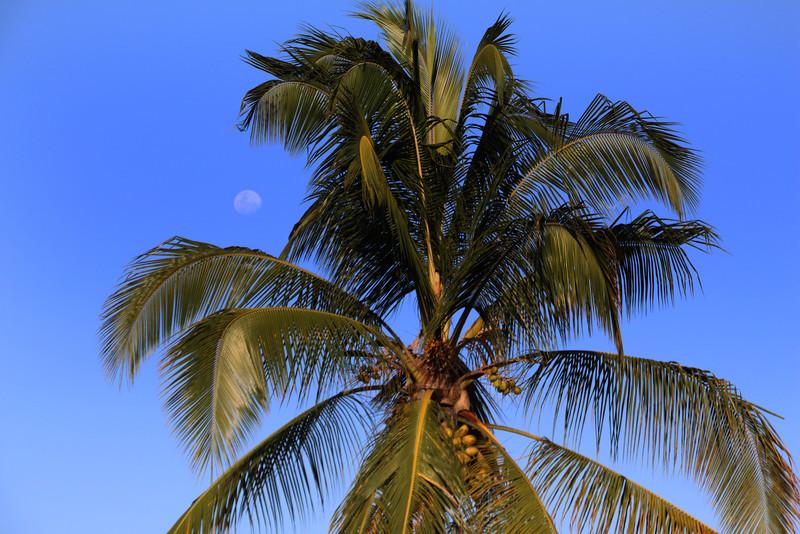 Galapagos Islands, Coconut Palm, Puerto Ayora, Santa Cruz