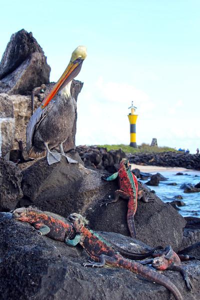 Galapagos Islands, Pelican and Iguanas on Lava Rock, Punta Suarez, Espanola