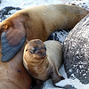 Galapagos Islands, Sea Lion Pup with Mother, Espanola