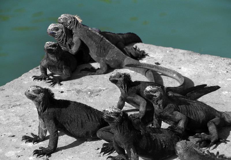 Galapagos Islands, Marine Iguanas, Santa Cruz
