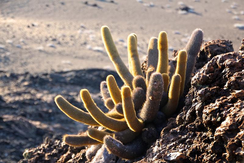 Galapagos Islands, Lava Cactus, Bartolome