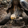 Galapagos Islands, Diego the Giant Tortoise at Darwin Station, Santa Cruz