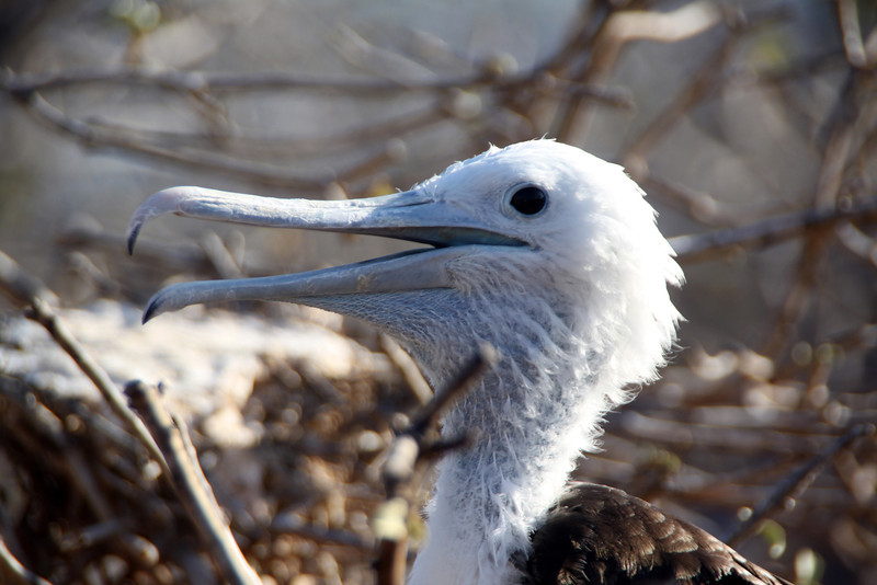 Galapagos Islands, Juvenile Frigate, South Plaza Island