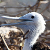Galapagos Islands, Juvenile Frigate, South Plaza Island