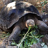 Galapagos Islands, Giant Tortoise Eating, Santa Cruz