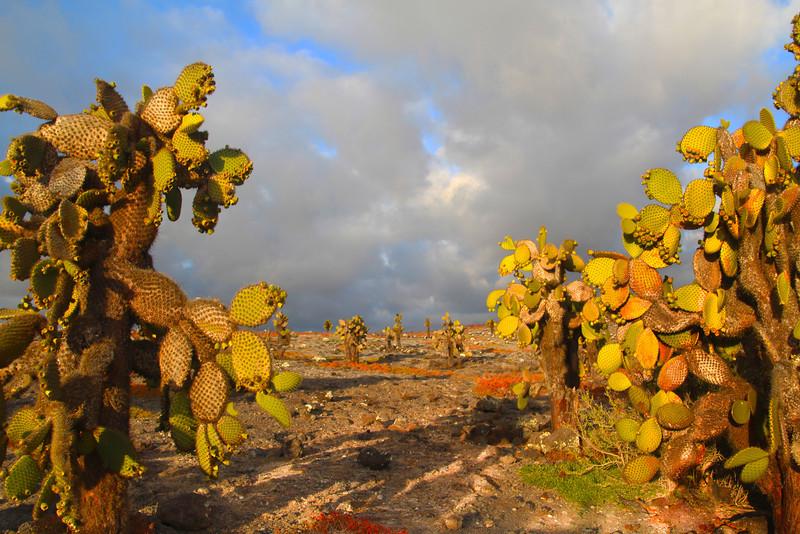 Galapagos Islands, Giant Opuntia Cactus, North Seymour Island