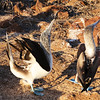 Galapagos Islands, Blue-footed Booby, Mating Dance