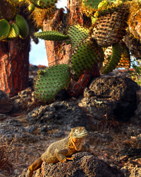 Galapagos Islands, Land Iguana under Opuntia Cactus, South Plaza