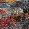 Galapagos Islands, Land Iguana in Sesuvium Flowerbeds, South Plaza Island