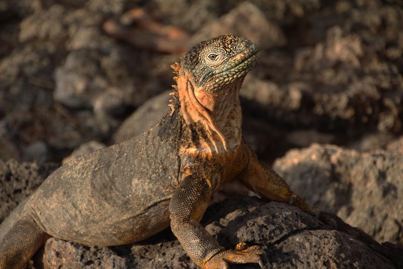 Galapagos Islands, Land Iguana, South Plaza Island