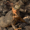 Galapagos Islands, Land Iguana, South Plaza Island
