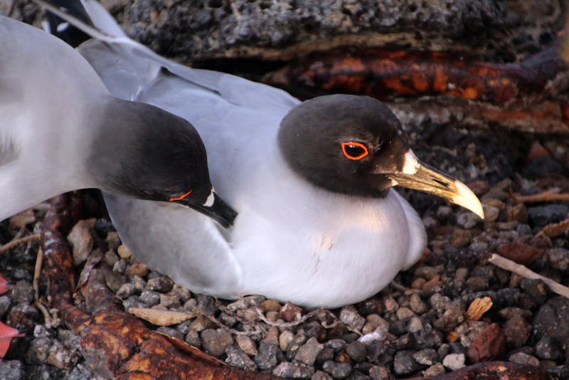 Galapagos Islands, Swallow-tailed Gulls Tending Nest, South Plaza Island