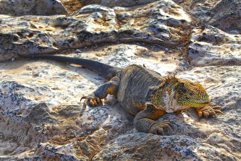 Galapagos Islands, Land Iguana on Rocks, South Plaza Island