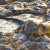 Galapagos Islands, Land Iguana on Rocks, South Plaza Island