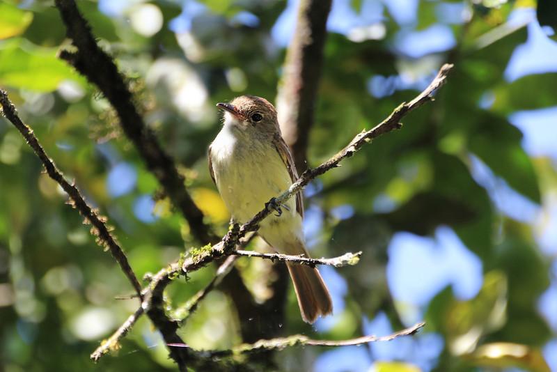 Galapagos Islands, Galapagos Yellow Warbler, Santa Cruz