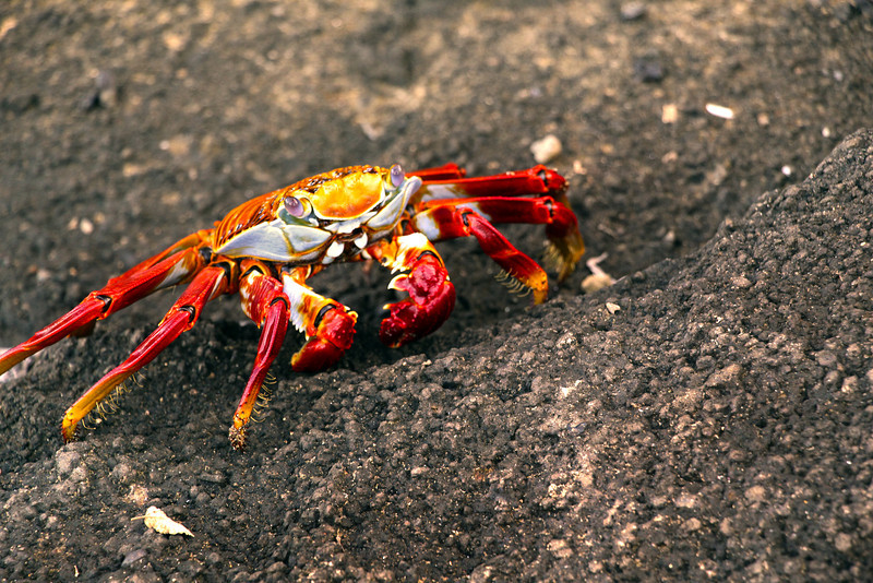 Glapagos Islands, Sally Lightfoot Crab