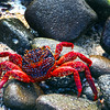 Galapagos Islands, Sally Lightfoot Crab