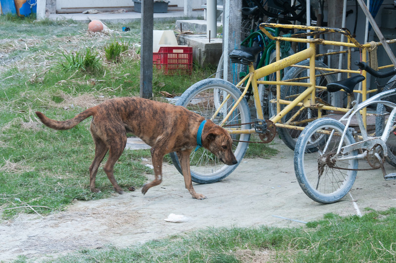 Stray dog in Caye Caulker, Belize