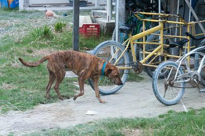 Stray dog in Caye Caulker, Belize