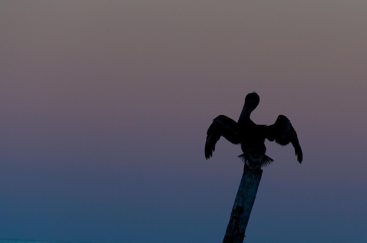 Bird during sunset in Caye Caulker, Belize