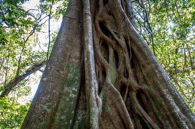Roots of a tree in Rincon Volcano National Park, Costa Rica