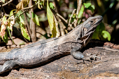 Monitor lizard in Rincon Volcano National Park, Costa Rica