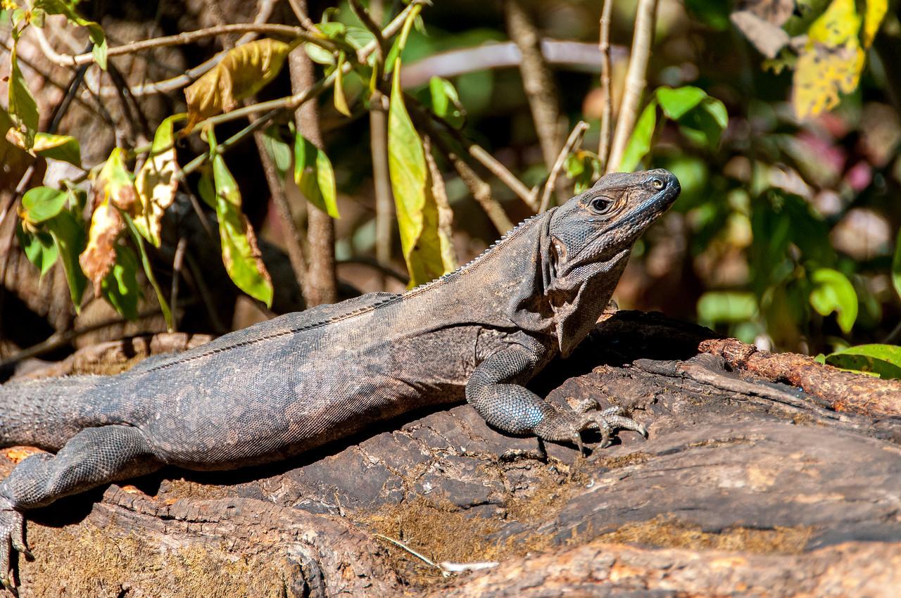 Monitor lizard in Rincon Volcano National Park, Costa Rica