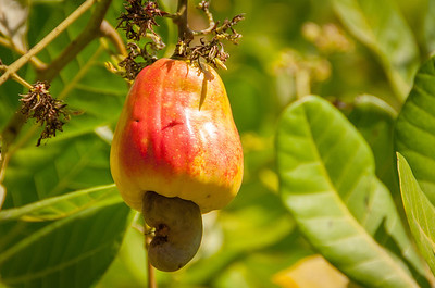 Cashew fruit in Suchitoto, El Salvador