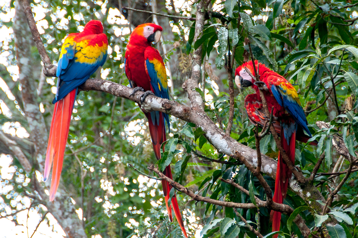 Group of Macaws in Copan Ruinas, Honduras