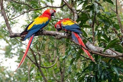 Scarlet Macaw on a branch in Copan, Honduras