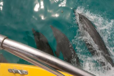 Dolphins swimming in La Paz, Mexico