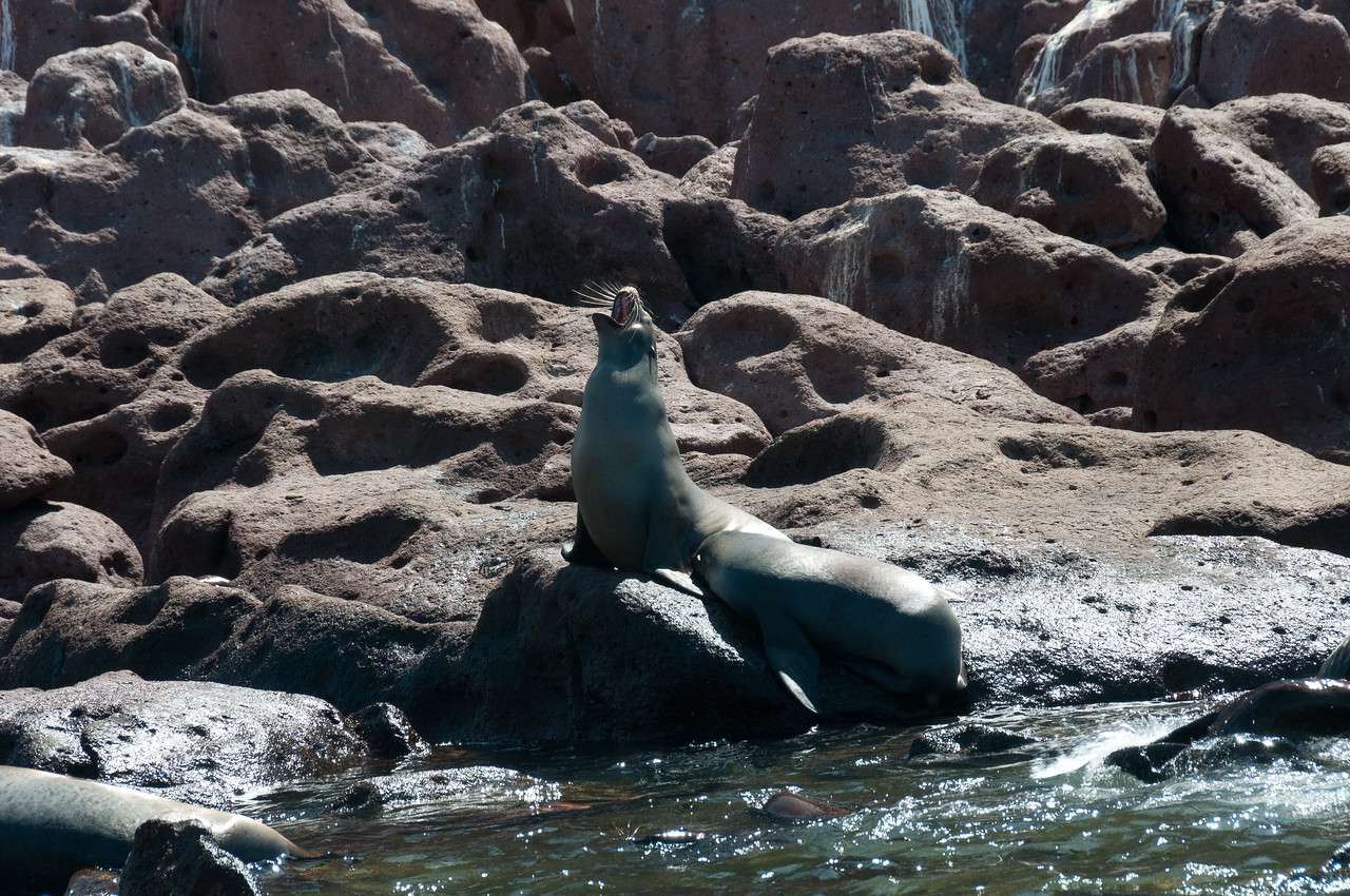 Barking Sea Lions Near La Paz, Mexico
