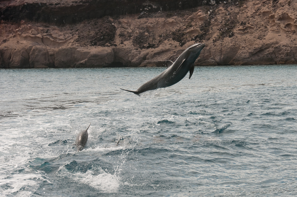 Dolphins jumping out of the water near La Paz, Mexico