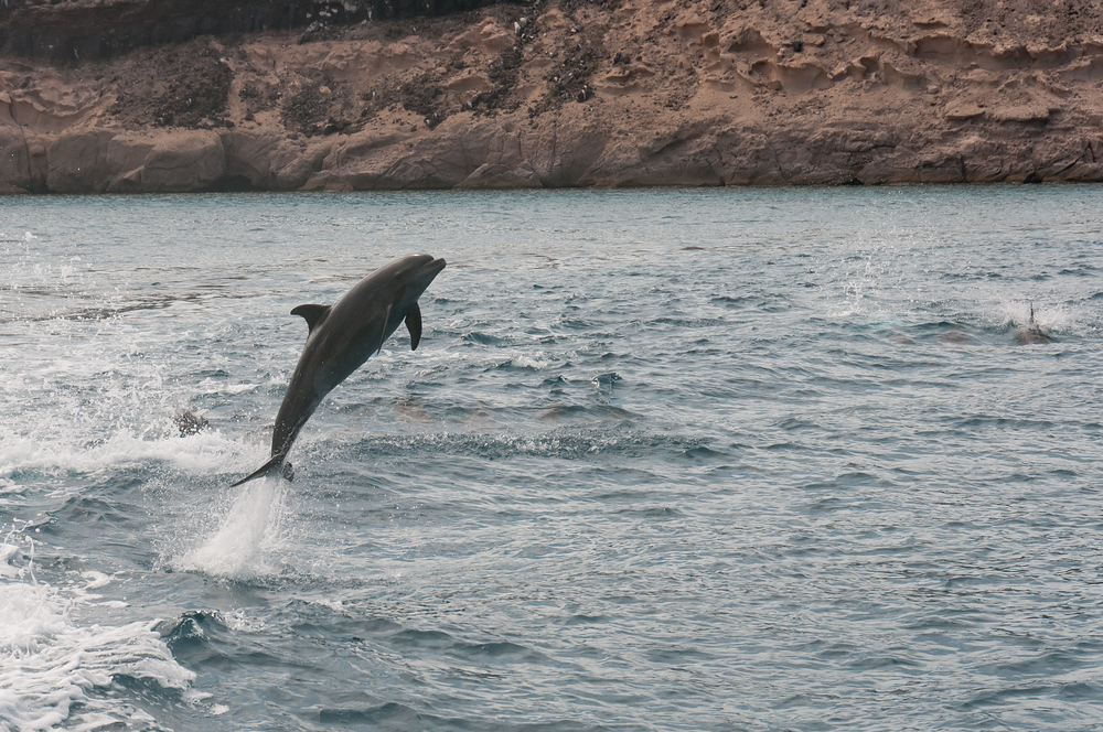 Jumping dolphin in La Paz, Mexico