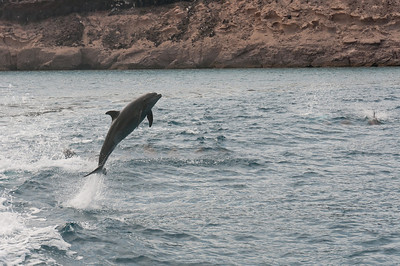 Dolphins swimming in La Paz, Mexico