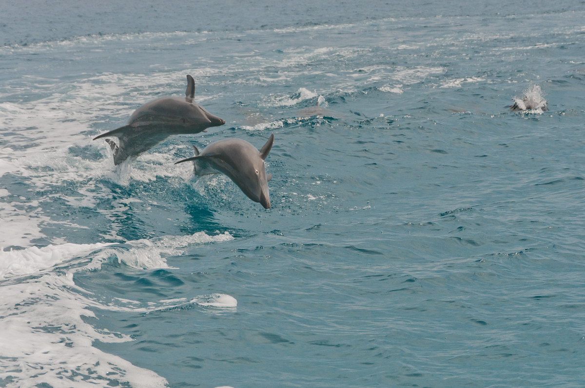Dolphins jumping in the Gulf of California off Baja, Mexico