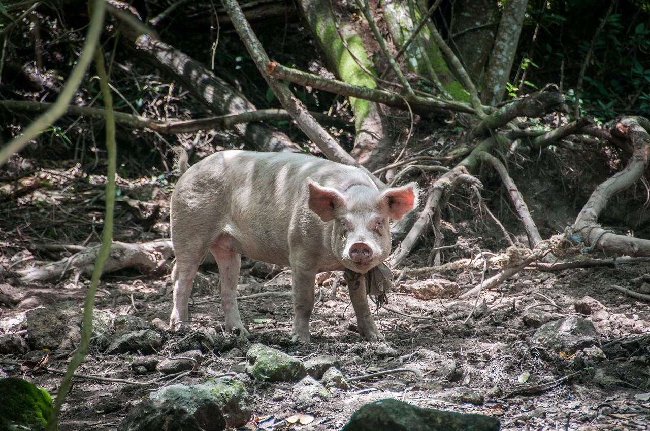 Wild pig in Mayan Riviera, Mexico